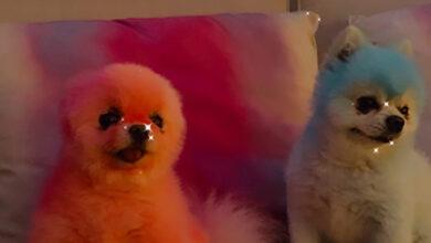 Photo of Пэрис Хилтон покрасила своих собак в цвета американского флага в честь Дня поминовения